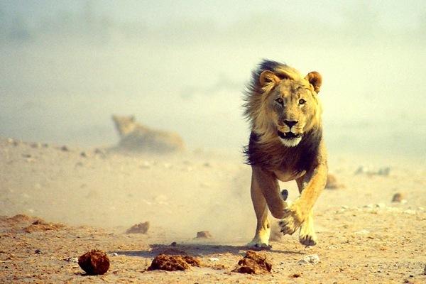 Кастрированный лев теряет гриву