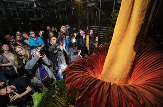 Самый большой цветок в мире зацвёл
