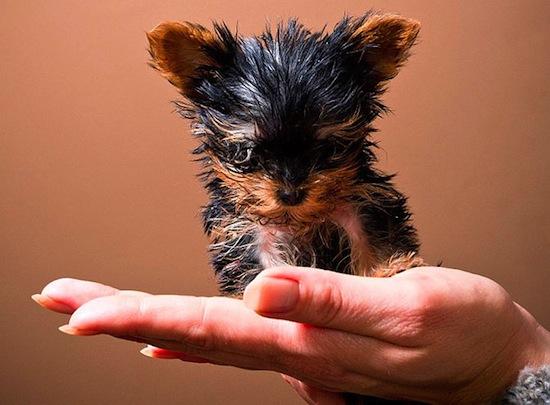 Самая маленькая собака в мире размером с банку газировки