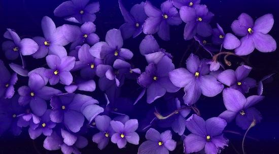 Фиолетовый — самый дорогой цвет в истории