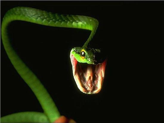 В Новой Зеландии змеи запрещены законом