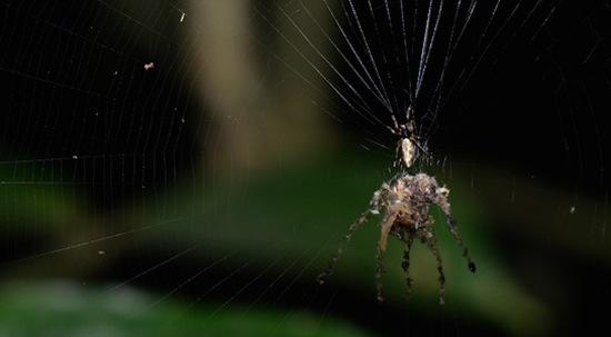 Существует паук, умеющий создавать собственную копию