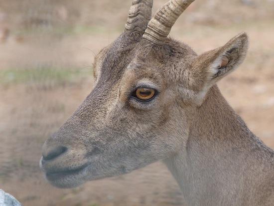 Прямоугольные зрачки коз дают им обзор 340 градусов без поворота головы