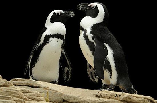 Два гомосексуальных пингвина в течение восьми лет были парой