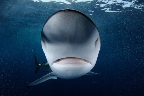Кожа акулы отталкивает водоросли и бактерии