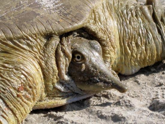 Существует черепаха, которая мочится через рот