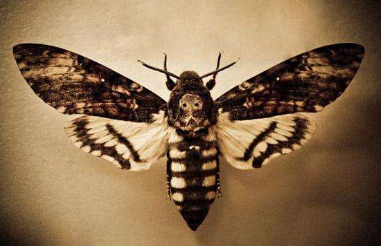 Бабочка Бражник Мёртвая голова единственная из насекомых обладает органом речи