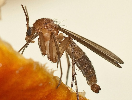 В США разводят специальных комаров, убивающих комаров