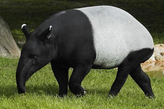 Кроме кошачьих «мурлыкают» также кролики, белки, морские свинки, тапиры, слоны, еноты и гориллы