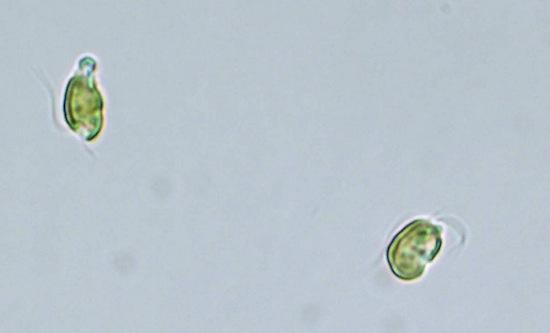 Существуют водоросли, которые умеют обманывать