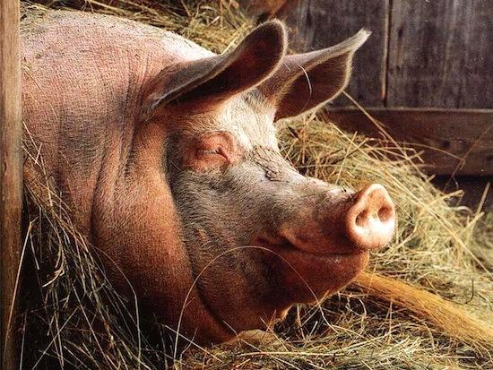 секс барана и свиньи