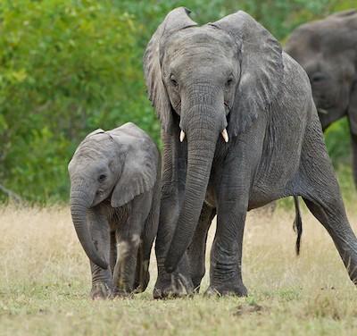 Индия испытывает трудности с алкоголизмом слонов