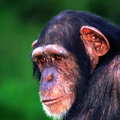 У шимпанзе рабочая память лучше, чем у людей