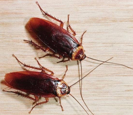 Тараканы весьма щепетильны в отношении ухода за собой
