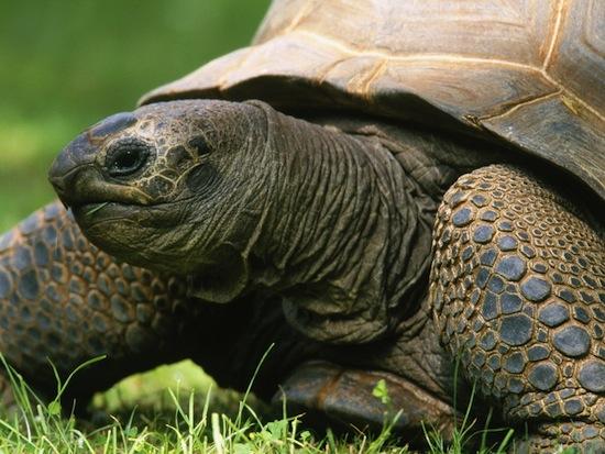 Тела и внутренние органы черепах не стареют, поэтому черепахи не умирают от старости