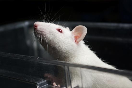 Учёные соединили мозги двух крыс «телепатической» электронной связью
