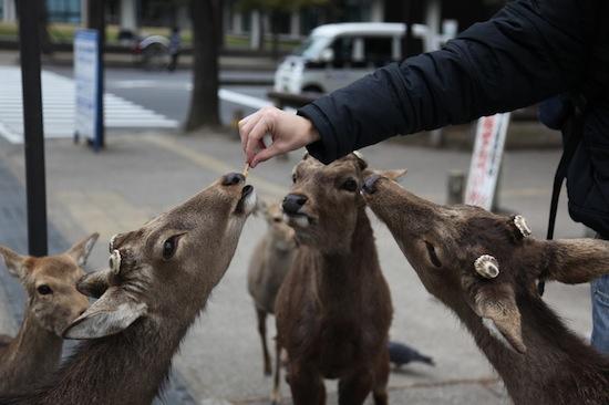 В японском городе Нара дикие олени кланяются, когда люди дают им угощение