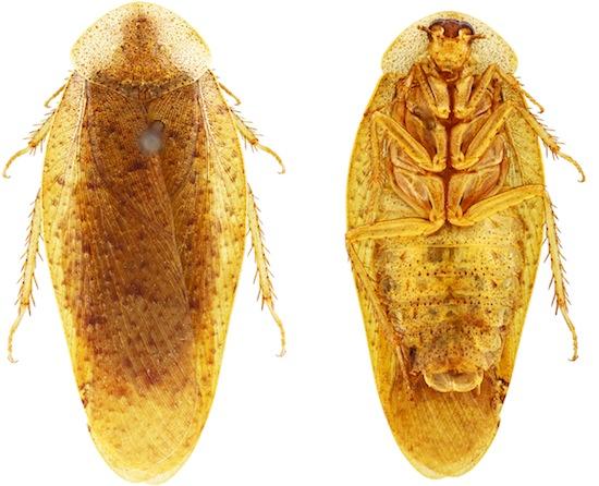 Pseudophoraspis clavellata