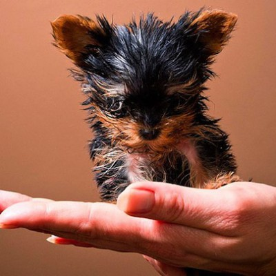 Большие собаки живут меньше маленьких, потому что быстрее стареют
