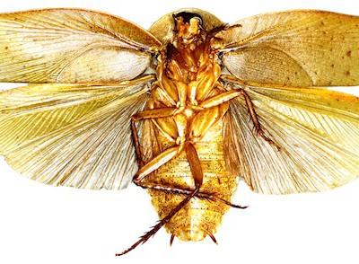 Pseudophoraspis incurvata