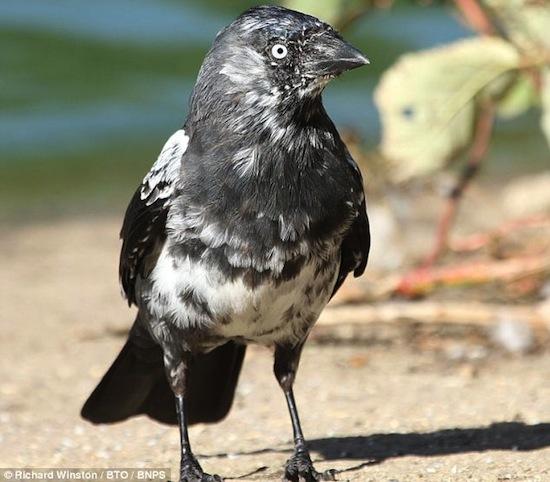 «Эффект Джорджа Клуни»: самок некоторых птиц привлекают самцы с седым оперением