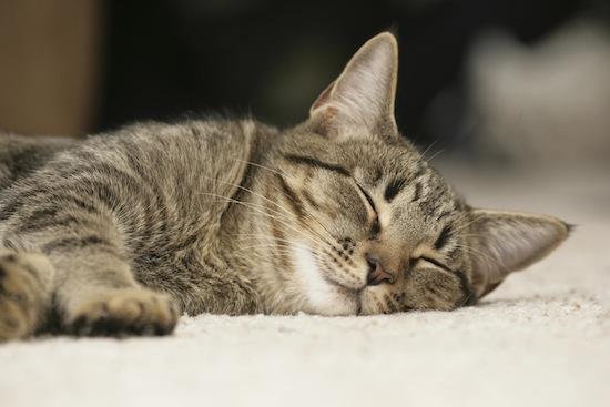 Кошки проводят во сне 70% своей жизни