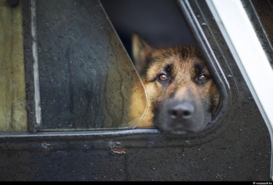Служебные собаки при поиске наркотиков ошибаются более чем в 50% случаев
