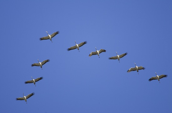 Птицы летают клином чтобы использовать завихрения воздушных потоков
