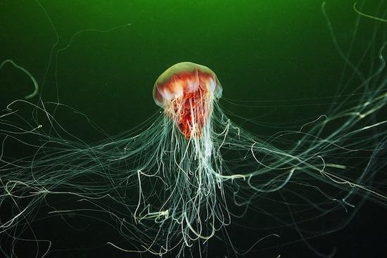 В 1870-м году была обнаружена медуза с щупальцами 36 метров в длину