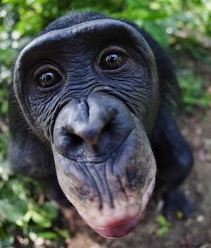 Самцы шимпанзе предпочитают пожилых самок