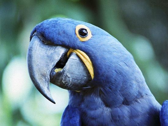 Попугаи предпочитают «журавля в небе»