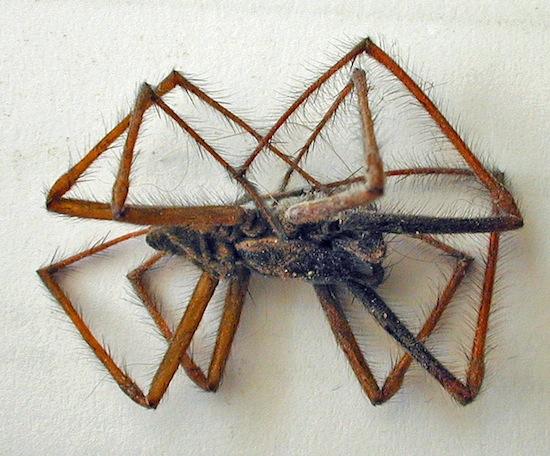 Ноги пауков скручиваются после смерти из-за гидравлического давления в мускулах
