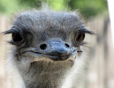 Страус способен убить льва пинком, и ещё 6 удивительных фактов о страусах