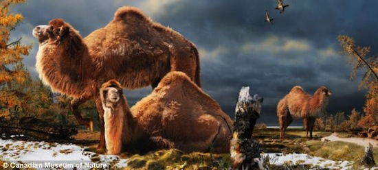 3,5 млн лет назад в Арктике обитали гигантские лохматые верблюды