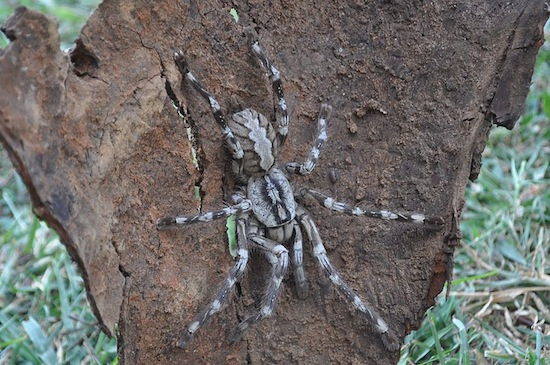 Недавно открытые тарантулы больше, чем ваше лицо