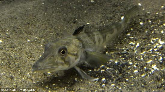 Существует прозрачная рыба с прозрачной кровью
