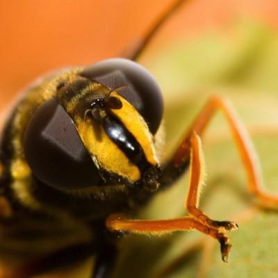 Пчёлы могут напасть на вас, если от вас будет пахнуть бананами