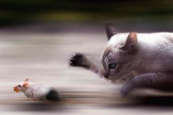 Если мышка не боится кошки — она заражена паразитом