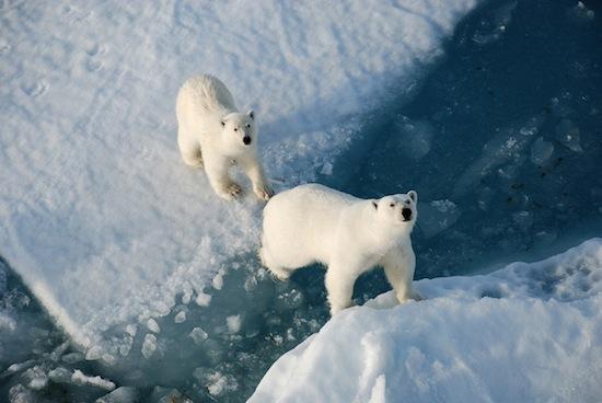 Все полярные медведи — ирландцы!