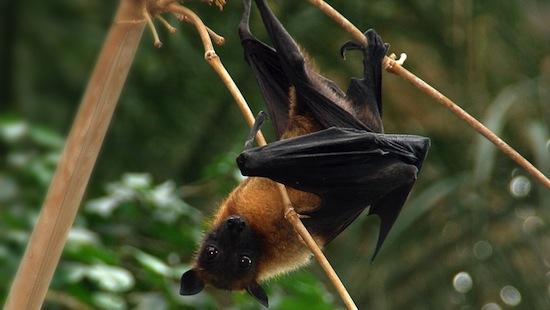 Летучие мыши-крыланы практикуют куннилингус