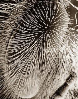 У пчёл растут волосы на глазах