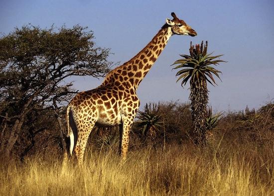 Как жирафы помогли человеку отправиться в космос