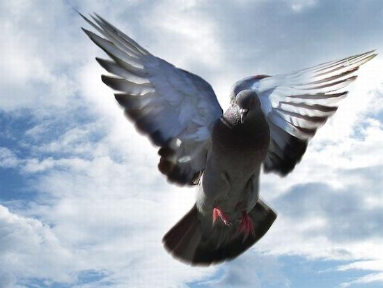 Интеллект голубей сопоставим с интеллектом трехлетнего ребёнка