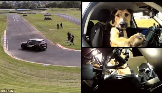 Собаку можно научить водить автомобиль