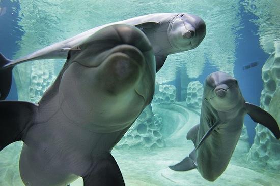 Итак, дельфины — «няшки» или безжалостные убийцы?