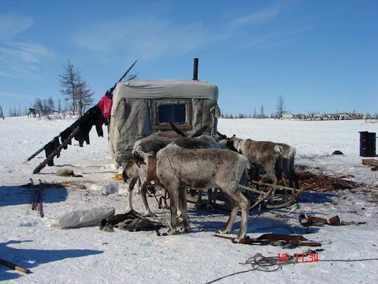 Ямальские оленеводы кастрируют оленей, откусывая им яички