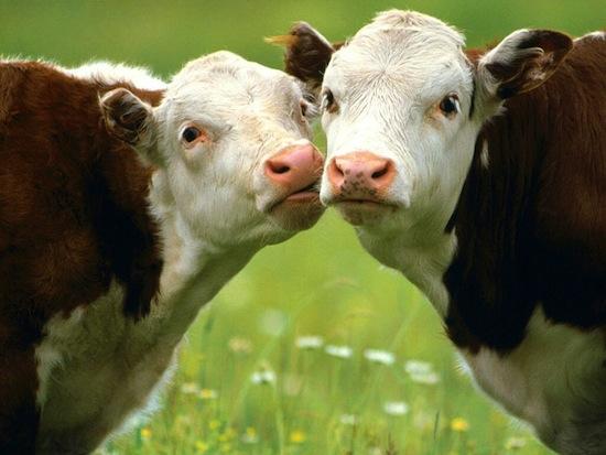 Все представители крупного рогатого скота спят головой на север