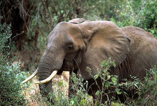 Слоны боятся пчёл