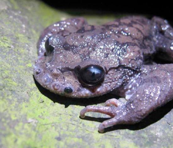 Усатая жаба дерётся усами