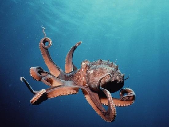 Если отрезать конечность у осьминога, она всё равно будет реагировать на раздражители